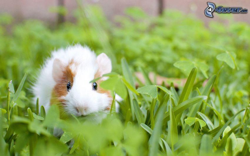 marsvin, gräs