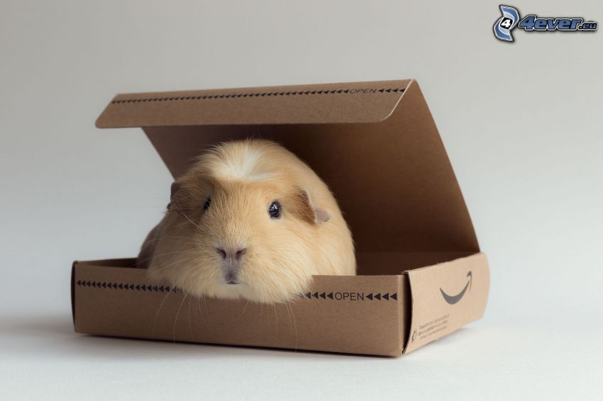 marsvin, låda
