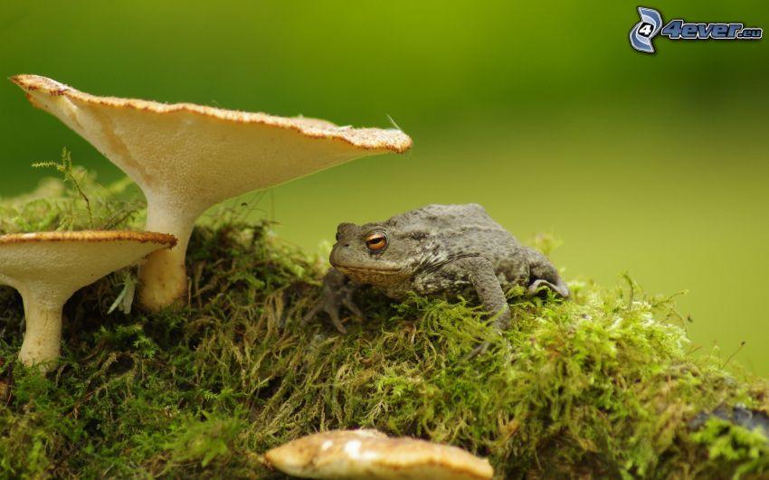 padda, svampar