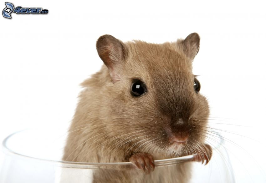 råtta, glas