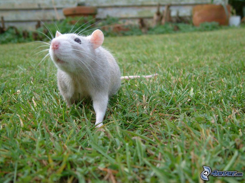 råtta, gräs
