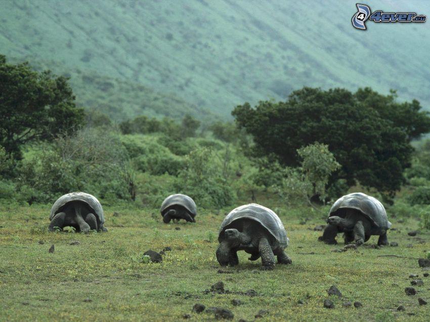 sköldpadda, djur, natur, buske