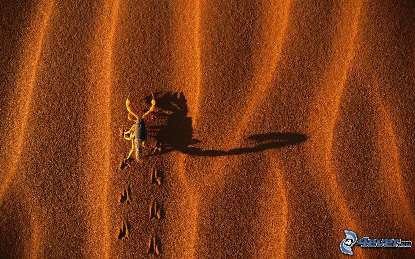 skorpion, fotspår i sanden