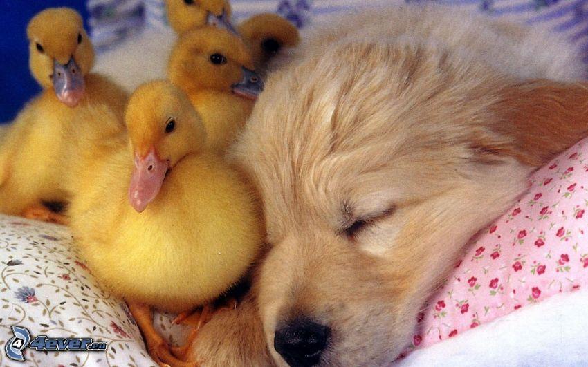 sovande valp, liten gul ankunge
