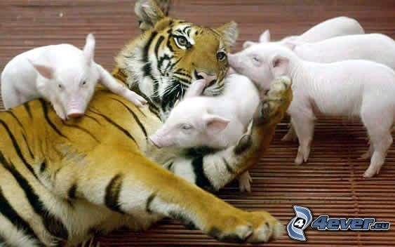 tiger, grisar
