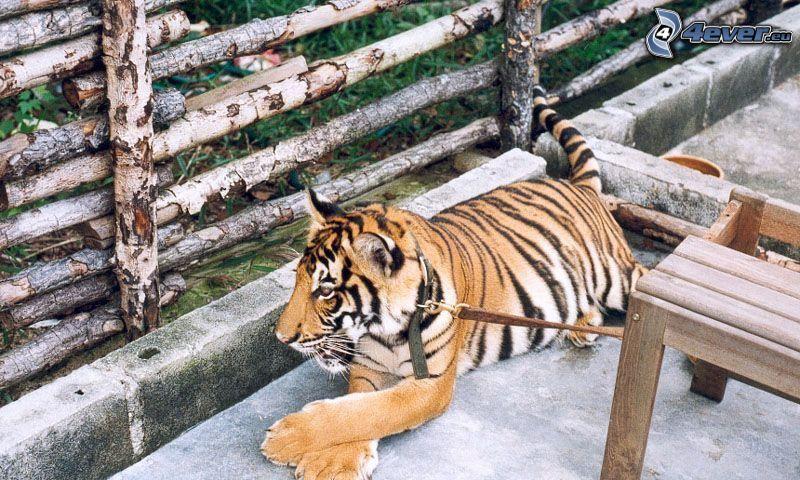 tiger, halsband, staket
