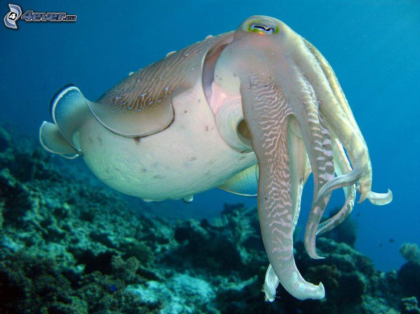bläckfisk, havsbotten