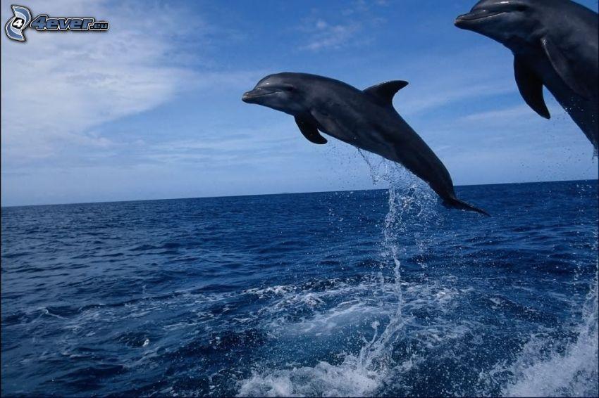 delfiner, hopp, Florida, hav