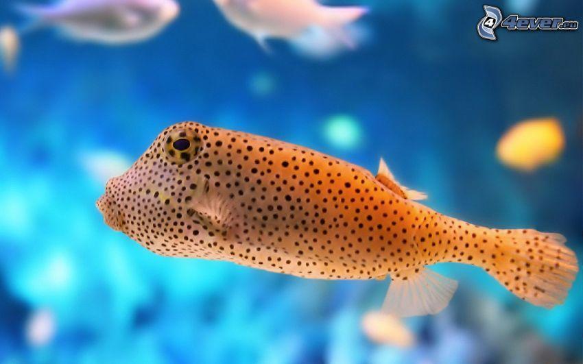 fisk, prickar
