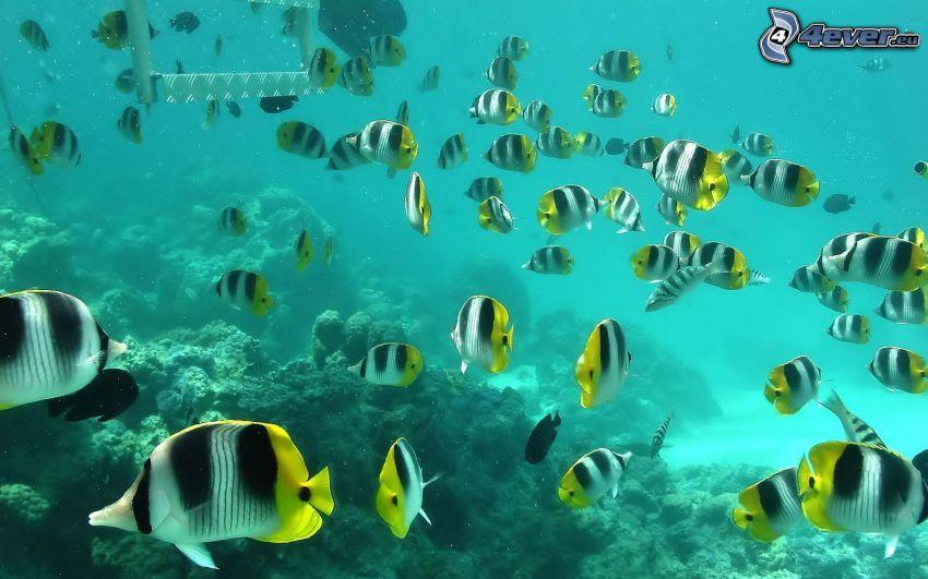 fiskar i havet, korallfiskar, azurblå hav