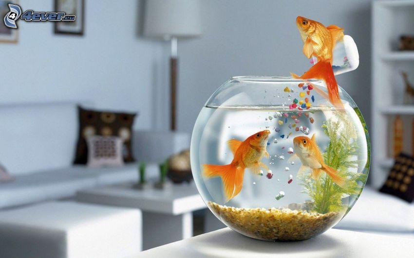 guldfisk, hopp, akvarium