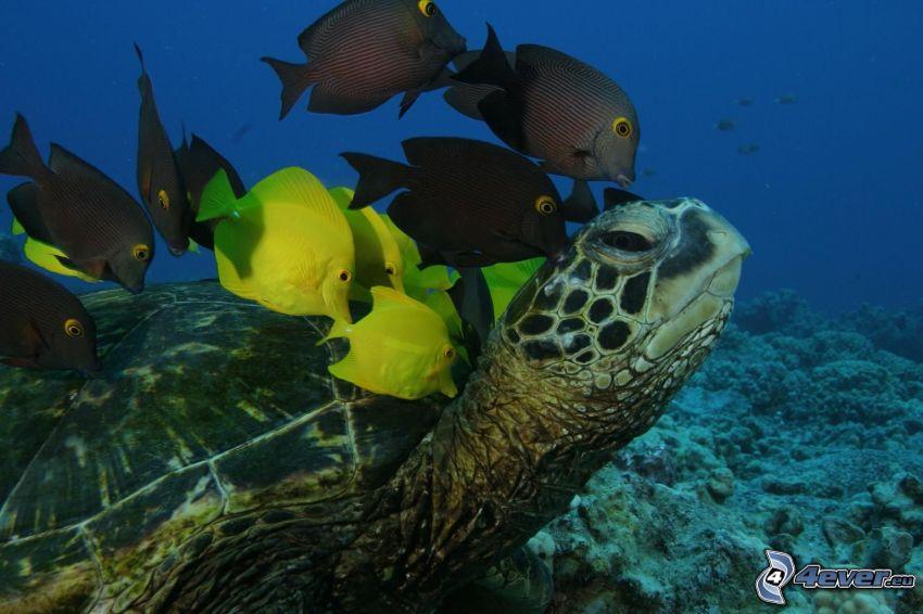 havssköldpadda, fiskar