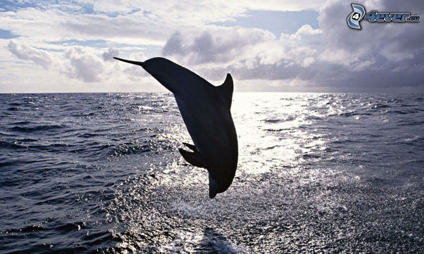 hoppande delfin, hav