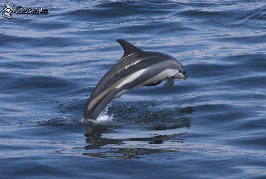 hoppande delfin