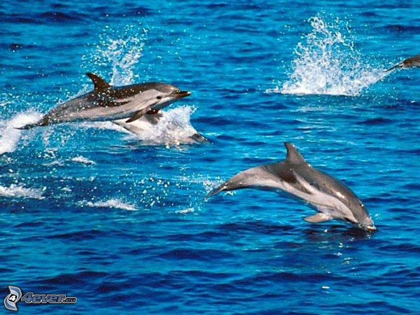 hoppande delfiner