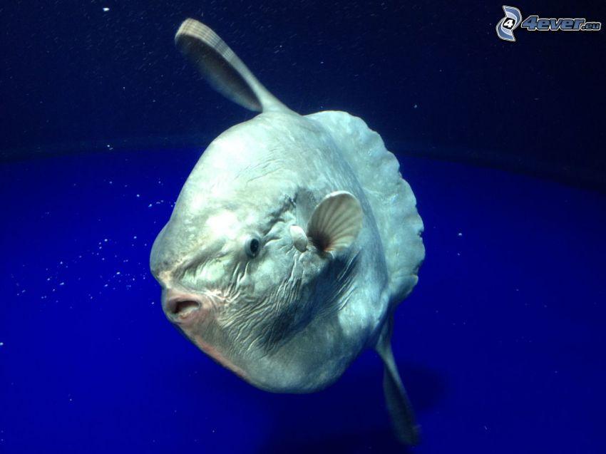 klumpfisk