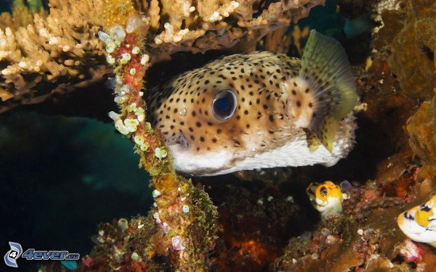korallfisk, koraller