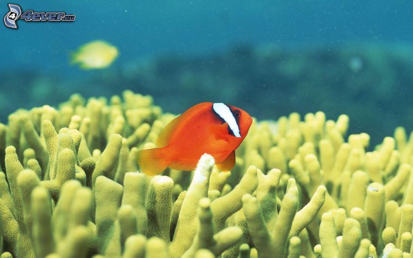 orange och vit fisk, anemoner