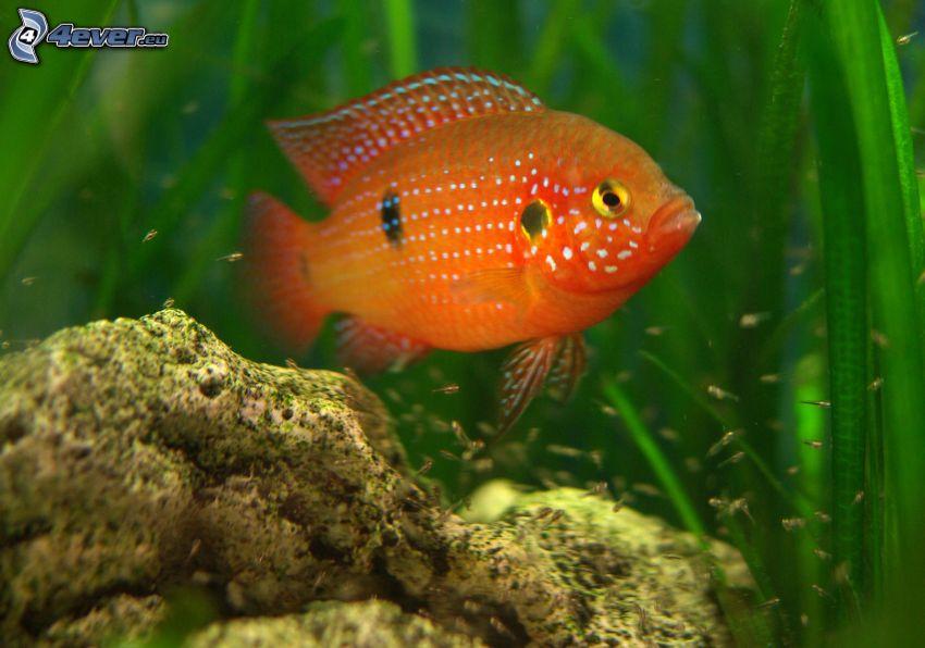 orange och vit fisk, fiskar