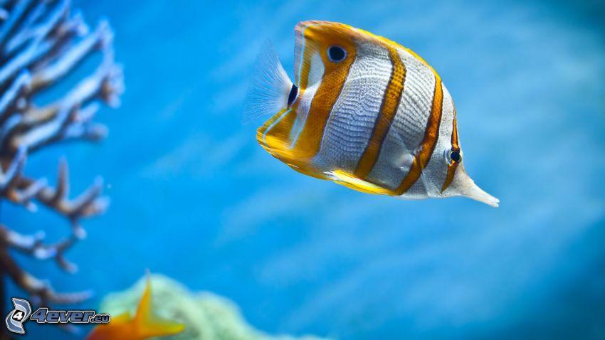 orange och vit fisk