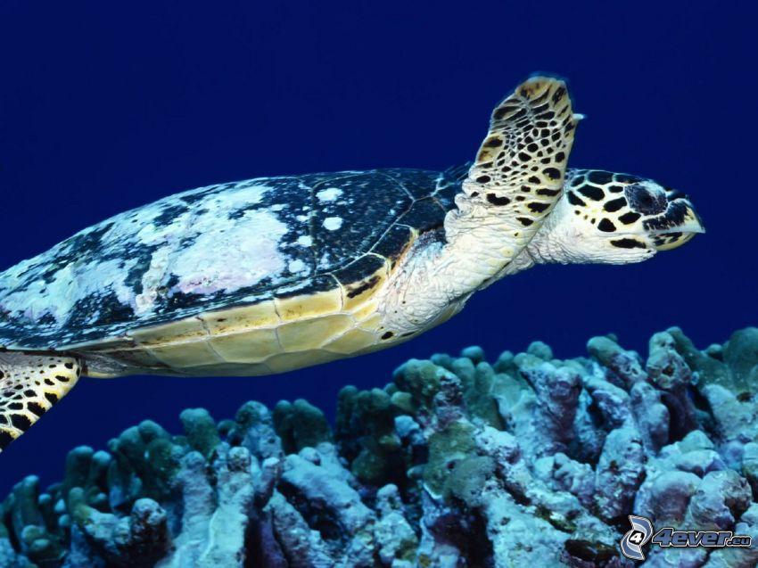 sköldpadda, havsbotten, koraller