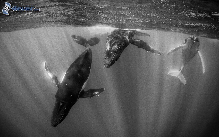 valar, svartvitt foto