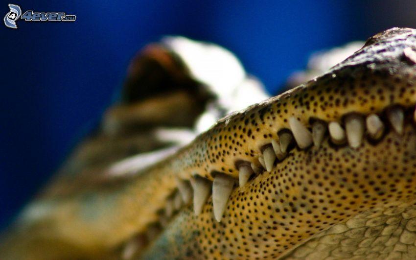 alligator, rovtänder