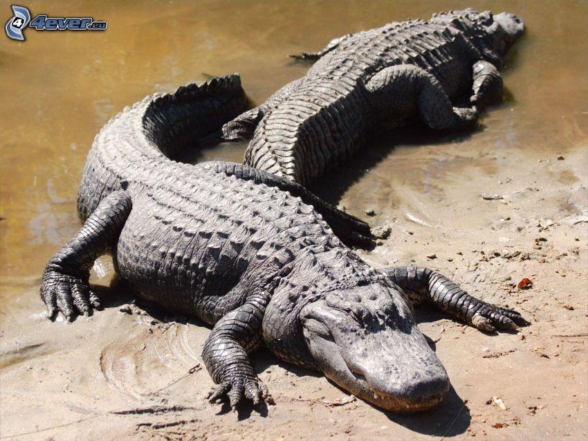 alligator, strand, vatten
