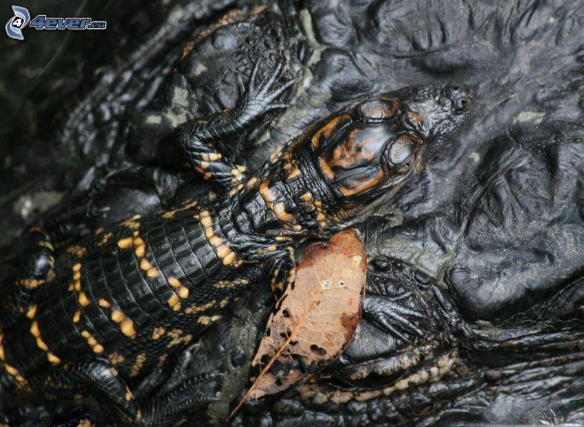 alligator, unge, löv