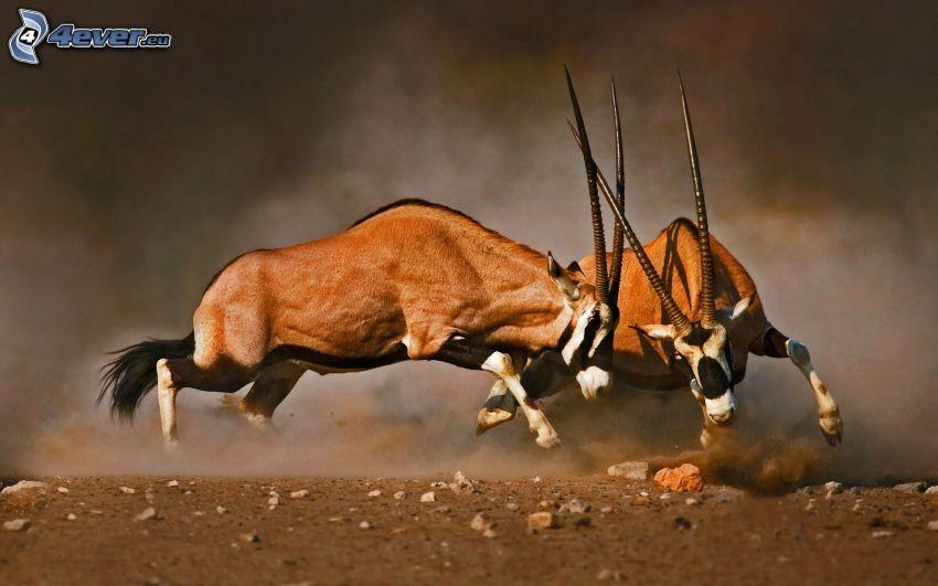 antiloper, slagsmål
