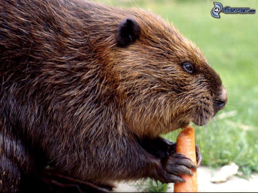bäver, morötter