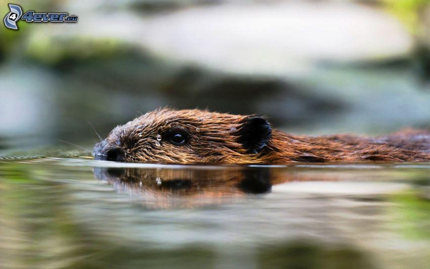 bäver, simning