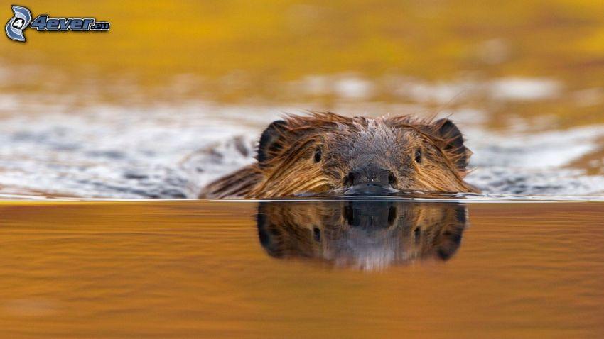 bäver, vattenyta