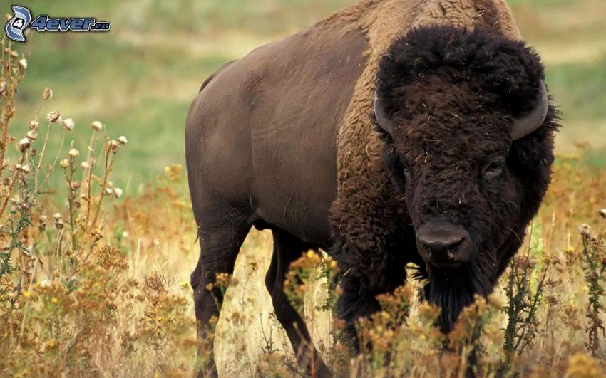 bison, torrt gräs, fältblommor