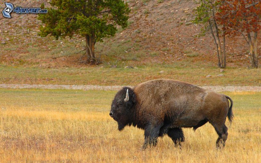 bison, torrt gräs
