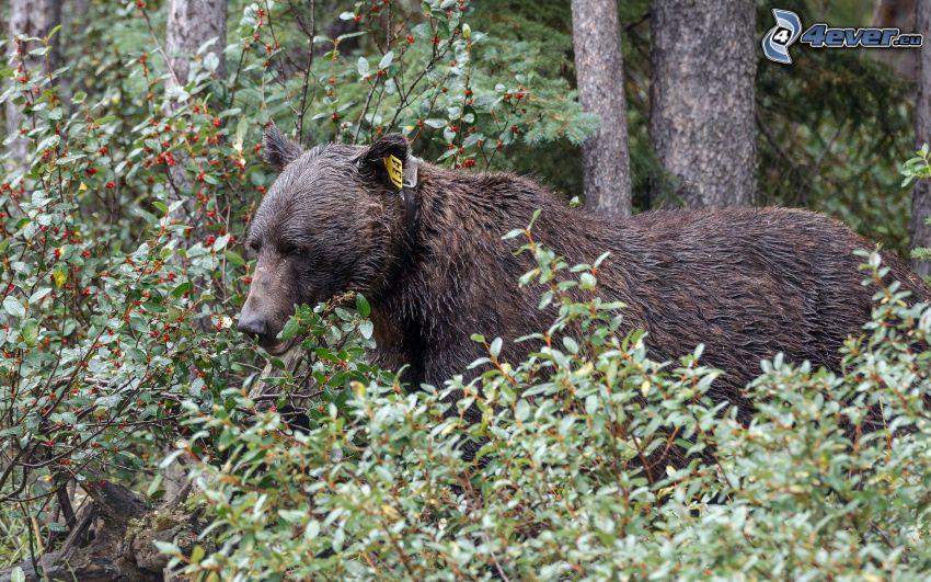 björn, buskar
