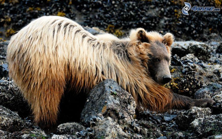 björn, klippor