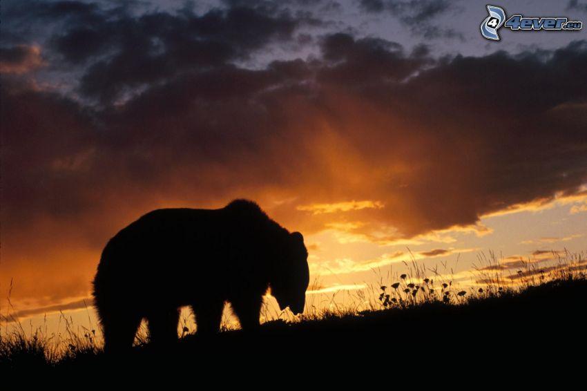björn, silhuett, kulle, solnedgång, moln