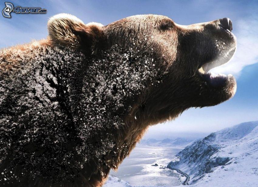 björn, snö