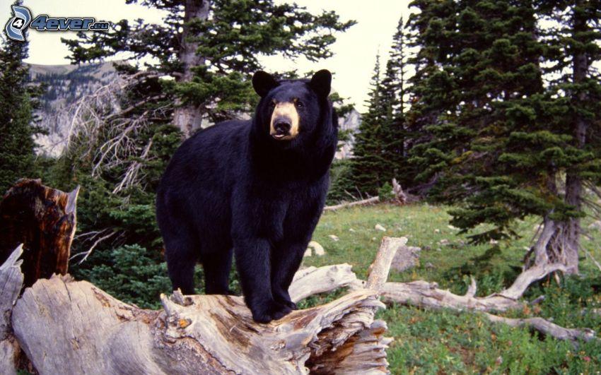 björn, stam, barrträd