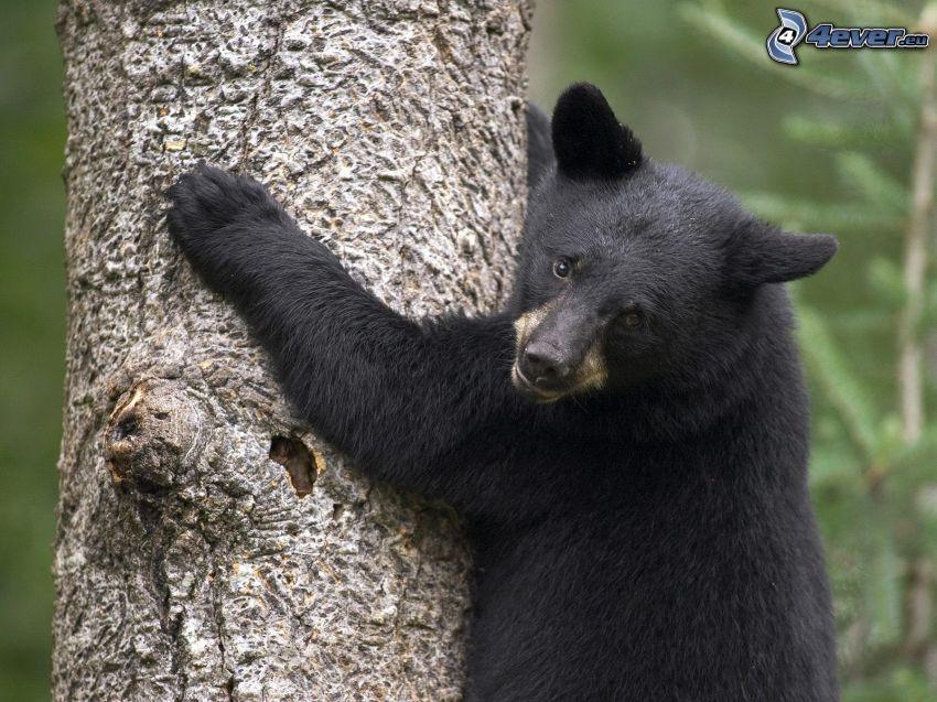 björn, unge, stam