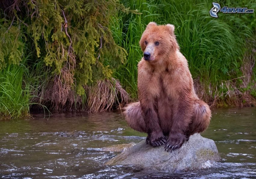 björn, unge, sten, vatten