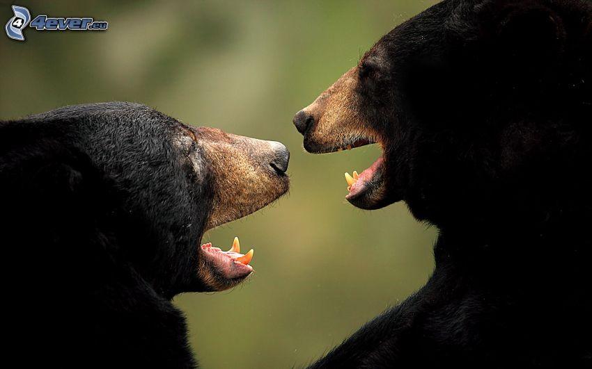 björnar, svart björn