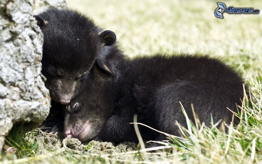 björnar, ungar, sömn, svart björn