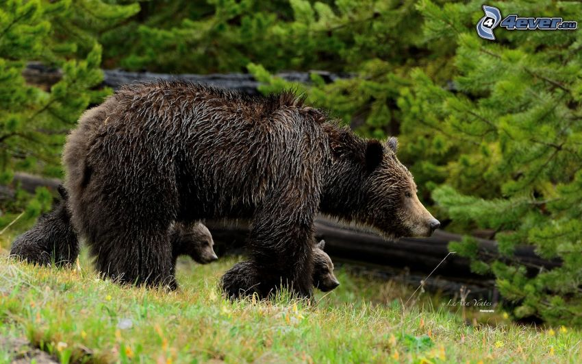 björnar, ungar