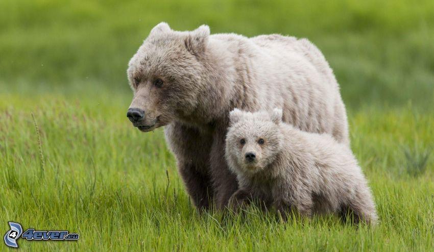 björnar, unge, grönt gräs