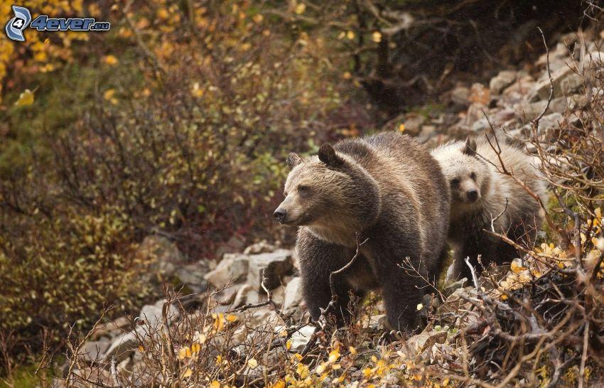 björnar, unge, höstskog