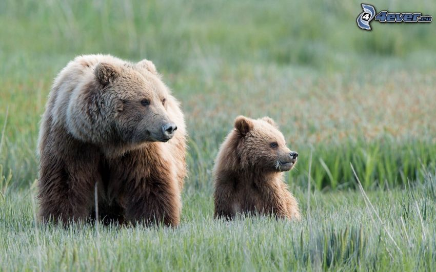 björnar, unge