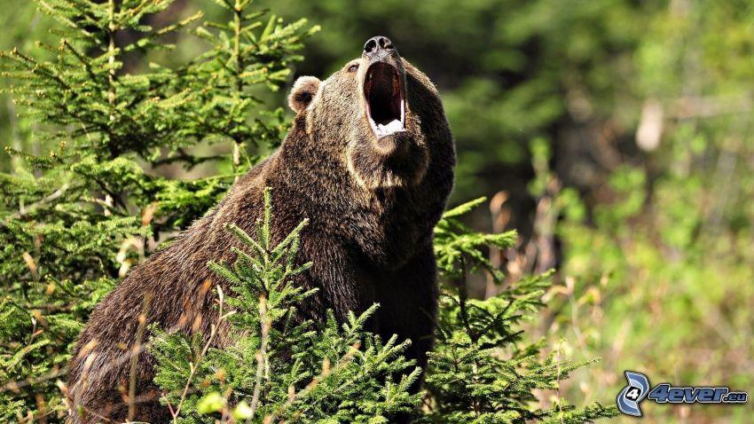 brunbjörn, barrträd