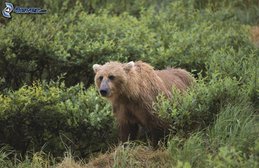 brunbjörn, buskar